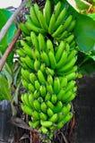 Banana tree. Bunch of bananas,big bananas Stock Images