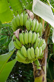 Banana tree Royalty Free Stock Images
