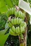 Banana tree Royalty Free Stock Images