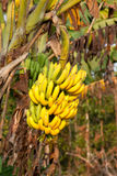 Banana tree Stock Photos
