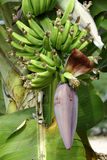 Banana tree. A banana tree in a tropical forest Royalty Free Stock Photo