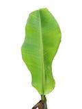 Banana tree. One banana green tree leaf with isolate background royalty free stock photo
