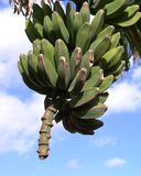 Banana Tree. Bananas growing on a tree in the sunshine Royalty Free Stock Images