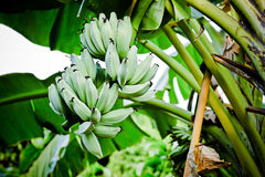 Banana tree Royalty Free Stock Image