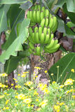 Banana Tree. Bunch of bananas growing on tree in Madeira Royalty Free Stock Images