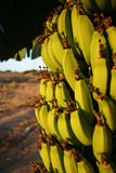 Banana Tree. In Cyprus Royalty Free Stock Images