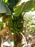 Banana tree Aourir Morocco Royalty Free Stock Image