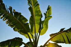 Banana tree,Backlight Royalty Free Stock Photography