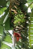 Banana tree and banana blossom Royalty Free Stock Image