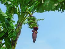 Banana Tree with Banana Blossom and Green Fruits Stock Image