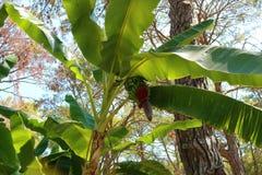 Banana tree. Banana flower. Banana leaf. Tropical banana plant. stock image