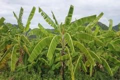Banana tree with banana fruit in vietnam. Banana tree with banana fruit in Nha Trang, vietnam stock photo
