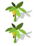 Banana tree with banana fruit Stock Images