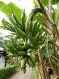 Banana tree and banana fruits. Banana tree and big green banana fruits Stock Image