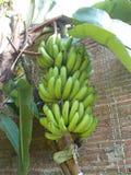 Banana tree and banana fruits on it. Banana tree and big green banana fruits on it, it`s horn banana Stock Image