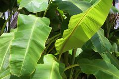 Banana tree. Banana tree, close up image royalty free stock photography