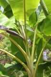 Banana tree. Banana tree, close up image Stock Photography