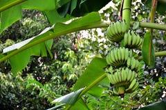 Banana on the tree. Bananas on the tree - Many green balls - Natural dock in the garden Royalty Free Stock Photo