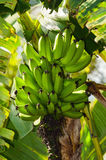 Banana tree with bananas ripening. In the bunch. Still green bananas and some banana leaves stock photo