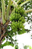 Banana tree Stock Image