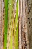 Banana tree bark texture Royalty Free Stock Photos
