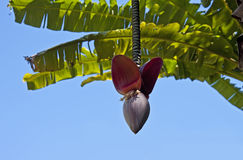 Banana tree blossom Royalty Free Stock Image