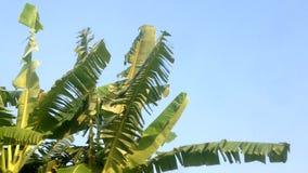 Banana tree and blue sky background.  stock video