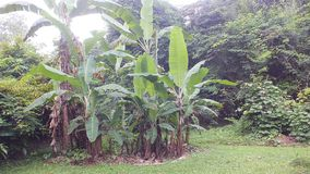 Banana tree, West Java Indonesia stock images