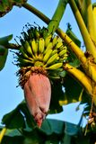 Banana tree branch out with flower and bananas. A banana tree with a branch of bananas Royalty Free Stock Photography