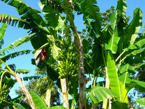Banana tree and bunch Royalty Free Stock Photo