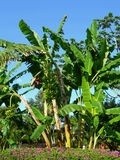 Banana tree and bunch Royalty Free Stock Photography