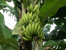 Banana tree - 12. Bunch of banana at the tree Stock Photos