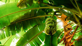 Banana tree with a bunch of bananas шn Cambodia. Banana tree with a bunch of bananas Stock Photos