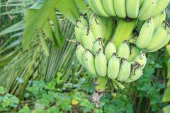 Banana tree with a bunch of bananas. Stock Photos