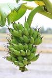 Banana tree with a bunch of bananas Stock Photo