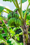 Banana tree with a bunch Stock Image