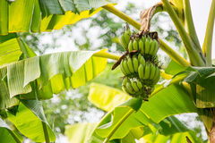 Banana tree with a bunch Stock Images