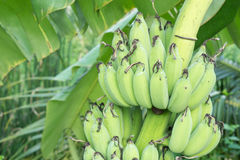 Banana tree with a bunch of bananas. Royalty Free Stock Image