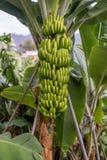 Banana tree with a bunch of bananas Royalty Free Stock Photos