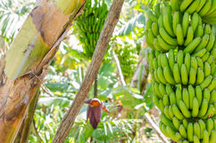 Banana tree with a bunch of bananas. Royalty Free Stock Photos