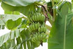 Banana tree with a bunch of bananas. In nature Stock Images