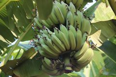 Banana tree with a bunch of bananas royalty free stock photography