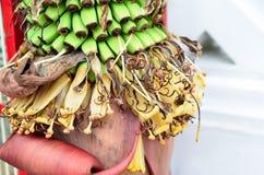 Banana tree with a bunch of green bananas growing Stock Image