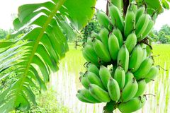 Banana tree with bunch of green growing raw royalty free stock photography
