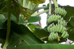 Banana tree with bunch of green growing raw bananas Royalty Free Stock Photography
