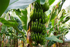 Banana tree with a bunch of growing bananas Royalty Free Stock Image