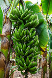 Banana tree with a bunch of growing bananas Stock Photo