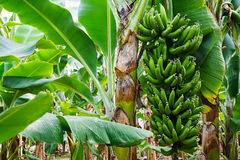 Banana tree with a bunch of growing bananas Stock Photos