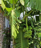 Banana tree with a bunch growing in a tropical rain forest one of the famous tropical fruit in the world. Stock Photos