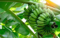 Banana tree with bunch of raw green bananas and banana green leaves. Cultivated banana. Herbal medicine for treatment diarrhea. And gastritis. Tropic fruit royalty free stock images